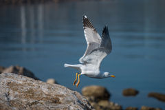 Seagull take off. Big Seagull bird flying from the rocky coast in front of  blue sea Royalty Free Stock Photo
