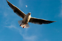 Free  Seagull Flying On A Blue Sky Royalty Free Stock Images - 12357309