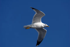 Free Seagull Flying On Blue Sky Stock Images - 3771434