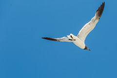 Seagull flying with open wings close. Seagull flying in the blue sky Royalty Free Stock Photos