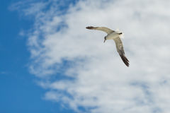 Seagull flying with open wings. Seagull flying with open wings in a cloudy blue sky Royalty Free Stock Photography