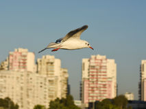 Seagull flying with open wings over blue sky. Royalty Free Stock Photography