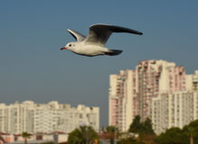 Seagull flying with open wings over blue sky. Stock Photography