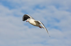 Seagull flying with open wings over blue sky. Stock Images
