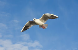 Seagull flying with open wings over blue sky. Stock Photos