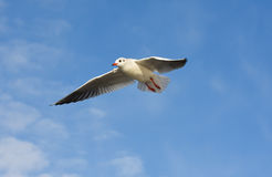 Seagull flying with open wings over blue sky. Stock Photo