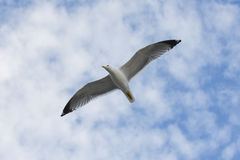 Seagull flying with open wings over cloudy sky. Royalty Free Stock Images