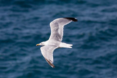 Seagull flying with open wings over ocean Stock Photo