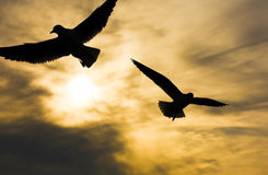 Seagull flying with open wings over sunset clouds sky. Stock Photos