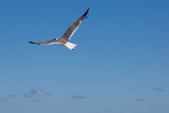 Seagull flying with open wings and small clouds pieces. Seagull flying in the blue sky with open wings Royalty Free Stock Photos