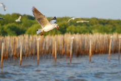 Seagull flying over the bamboo sea water barrage. In front of green mangrove forest Royalty Free Stock Photo