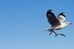 Seagull Flying. Over BANG-PU seaside in Thailand Stock Photo