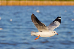 Seagull Flying. Over BANG-PU seaside in Thailand Royalty Free Stock Photos