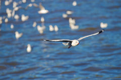 Seagull Flying. Over BANG-PU seaside in Thailand Stock Photography