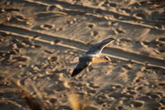 Seagull flying over the beach Stock Image