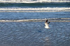 Seagull Flying Over Blue Ocean. One Seagull Flying Over Blue Ocean Royalty Free Stock Images
