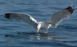 Seagull flying. Over blue sea Royalty Free Stock Images