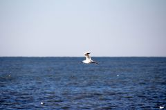 Seagull flying over the blue sea on the horizon. stock images