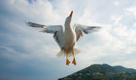 Seagull flying over blue sky Stock Images