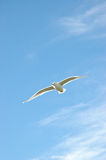 Seagull flying over blue sky Royalty Free Stock Photo