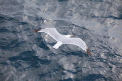 Seagull flying over blue water background Royalty Free Stock Photo