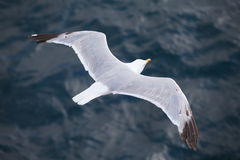 Seagull flying over blue water background. In a summer day Stock Image