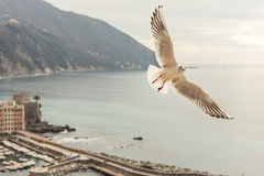Seagull flying over Camogli, italy Stock Image