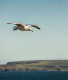 Seagull Flying over coast Stock Photography