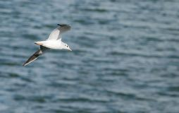 Seagull flying over Draycote Waters, UK. Royalty Free Stock Photo