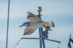 Seagull flying over. Fisherman boat in the bay Royalty Free Stock Photo