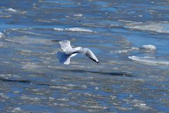 Seagull flying over frozen northern sea. Seagull flying over frozen part of danish harbor in Nykobing sj. - heart of Odsherred, part of Denmark Stock Photo