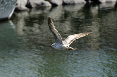 Seagull flying over the harbor Royalty Free Stock Image