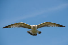 Seagull flying over lake. Royalty Free Stock Images