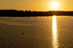 Seagull flying over the lake at sunset royalty free stock photography