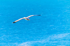 Seagull flying over the Mediterranean. A seagull is gliding over the mediterranean sea Royalty Free Stock Photo
