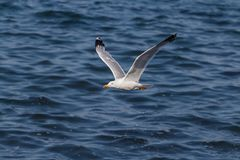 Seagull Flying Over Ocean Royalty Free Stock Photo