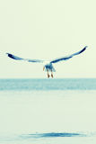 Seagull flying over ocean Stock Photography