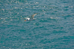 Seagull flying over ocean. Scenic view of single seagull flying over ocean Royalty Free Stock Photo