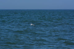 Seagull Flying Over the Ocean Royalty Free Stock Images