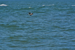 Seagull Flying Over the Ocean Royalty Free Stock Photos