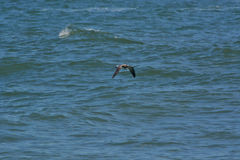 Seagull Flying Over the Ocean Stock Photography