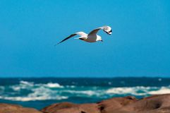 Seagull flying over ocean, sea and rocks. On sunny day. Nature background Stock Photography