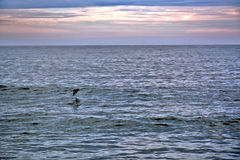 Seagull Flying Over Ocean at Sunrise. A seagull flies over the ocean at sunrise Royalty Free Stock Photo