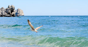Seagull flying over the ocean swell. With a rocky headland visible in the distance on a sunny summer day Royalty Free Stock Images