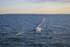 Seagull flying over the ocean. White Seagull is flying over the Atlantic ocean stock image