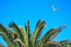 Seagull flying over a palm tree. On a clear day Stock Photography