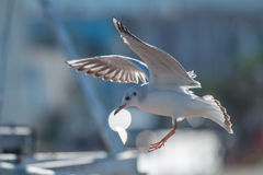 Seagull flying over port. Seagull standing and screeming on the fisherman boat in the bay Royalty Free Stock Photography