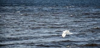 The seagull is flying over the river. Close up Stock Photos