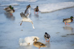 Seagull flying over the river. Seagull flying over the frozen river Royalty Free Stock Photography