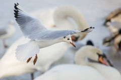 Seagull flying over the river. Seagull flying over the frozen river royalty free stock images